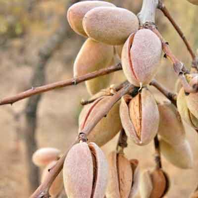Benefici dell'Olio di Mandorle dolci